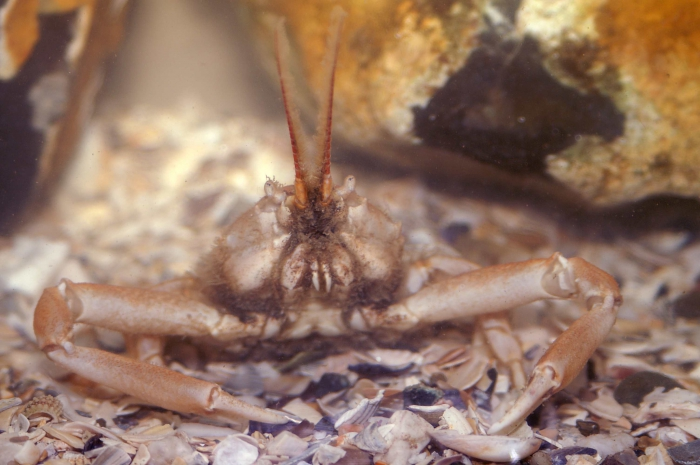 Corystes cassivelaunus