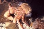 Pagurus prideaux and Adamsia carciniopados