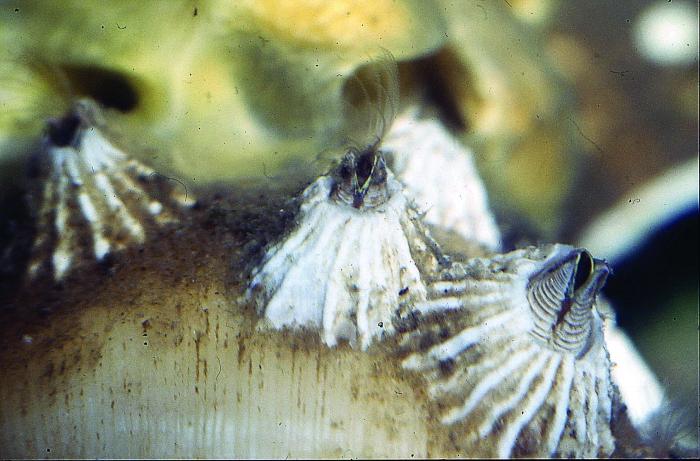 Balanus crenatus