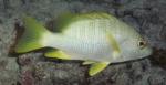 Lutjanus apodus