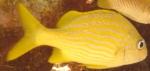 Haemulon flavolineatum