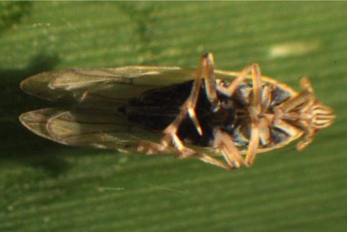 Prokelisia marginata (bottom view)