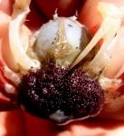 Mictyris brevidactylus