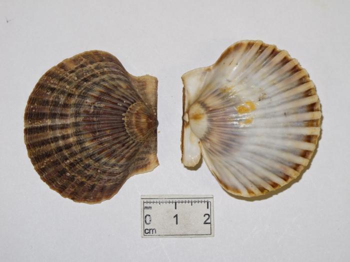Argopecten irradians - bay scallop