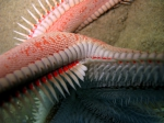 Astropecten aranciacus