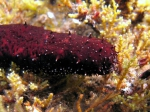 Holothuria poli