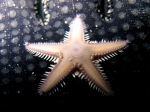 Astropecten platyacanthus (juvenile)