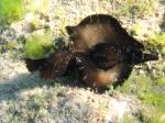 Aplysia fasciata