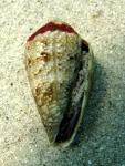 Conus ventricosus