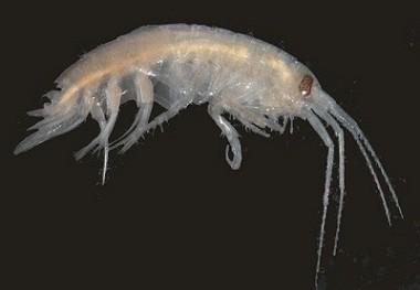 Picture of Atylus falcatus