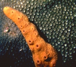 Agelas conifera Curaçao