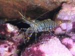 Palaemon serratus