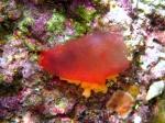 Tunicata (sea squirts)