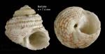 Gibbula guttadauri (Philippi, 1836)  — specimen from Barbate, S. Spain, actual size 7,4 mm