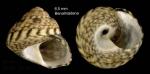 <i>Gibbula racketti</i> (Payraudeau, 1826)</b> — specimen from Benalmádena, S. Spain, actual size 6,5 mm