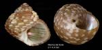 Gibbula turbinoides (Deshayes, 1835) — specimen from Marina del Este, Granada, S. Spain (actual size 4.4 mm)
