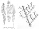 Sertularia pinaster from Ellis & Solander (1786)