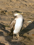 Phalacrocorax aristotelis (juvenile)