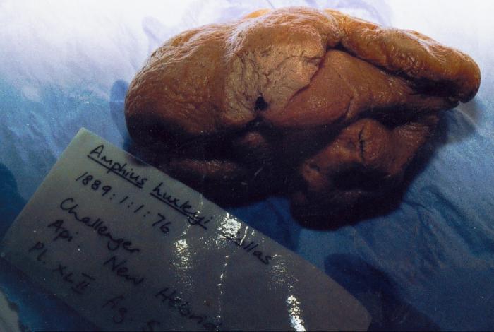 Amphius huxleyi Sollas, 1886, holotype