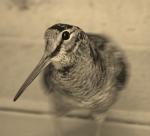 Houtsnip (Scolopax rusticola)