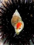 Euthria cornea