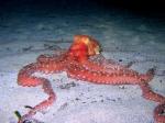 Callistoctopus macropus