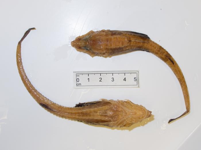 Leptagonus decagonus - dorsal ventral