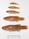 Fundulus heteroclitus - size range