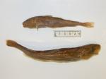 Eleginus gracilis (pair)