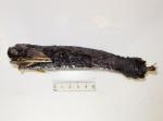 Malacosteus niger