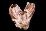 Megabalanus tintinnabulum