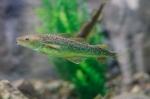 tomcod - aquarium