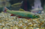 brook trout - aquarium