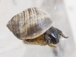 Littorina littorea - on foot