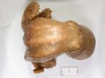 Bathypolypus arcticus