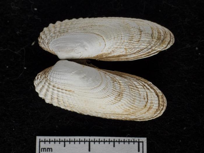 Petricola pholadiformis