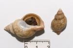 Buccinum ciliatum
