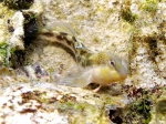 Lipophrys adriaticus