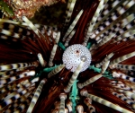 Echinothrix calamaris (Pallas, 1774) 