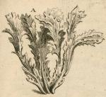 Spongia nervosa Type
