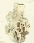 Callyspongia eschrichtii Duch.& Mich. original image