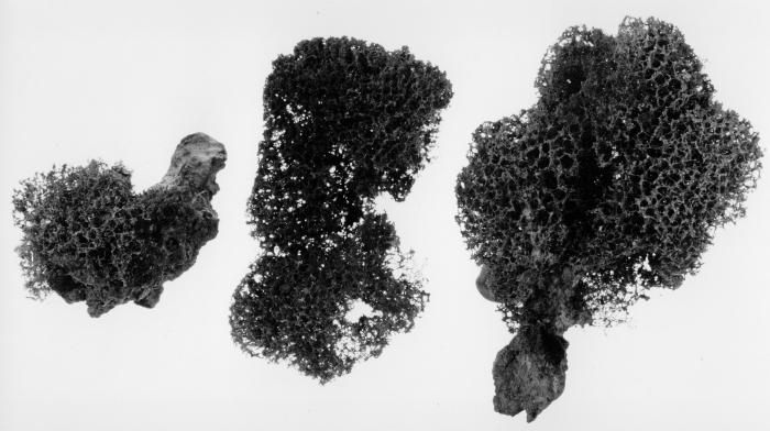 Euryades notabilis ZMA type material