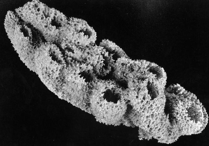 Igernella notabilis