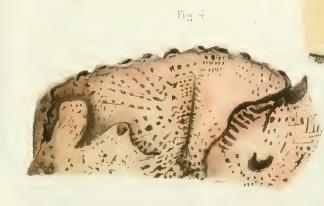 Amphimedon variabilis Duch. & Mich. original image