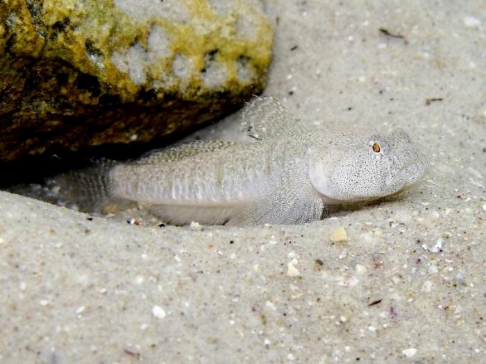 Pomatoschistus marmoratus (male)