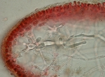 Kallymenia reniformis