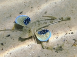 Chelidonichthys lucerna (juvenile)