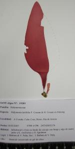 Halymenia latifolia