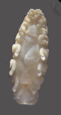 Ceratothoa oestroides