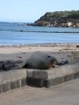 Southern elephant seal - <i>Mirounga leonina</i>